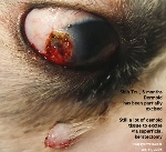 Dermoid cyst, eye, Shih Tzu, 8 months. Superificial keratectomy. Toa Payoh Vets, Singapore