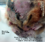 Syrian Hamster, 3 years, Cheek pouch abscesses & foreign body. Toa Payoh Vets