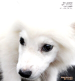 Japanese Spitz puppy, vaccination. Toa Payoh Vets, Singapore