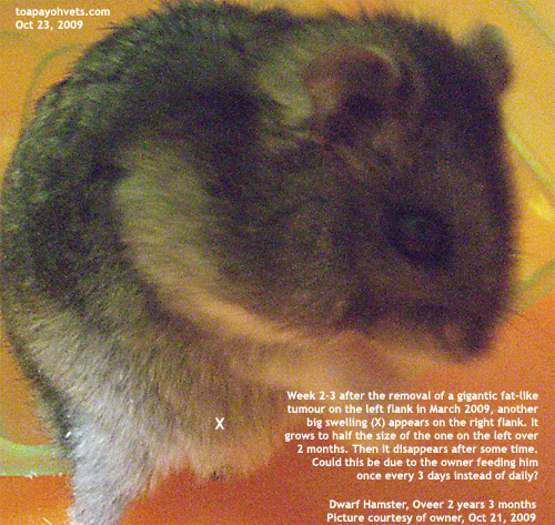 http://www.kongyuensing.com/pic/20091076Dwarf_Hamster_Right_Flank_Tumour_ToaPayohVets.jpg