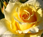 Willetton, Perth, Australia. Yellow Rose in Spring. Toa Payoh Vets