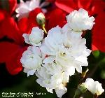 White roses, Willetton, Perth, Australia, Spring time. Toa Payoh Vets