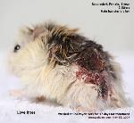 Dwarf hamster. Roboroskvi. Bitten by male. Toa Payoh Vets
