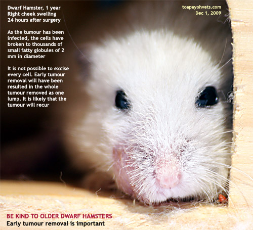 Hamster Abscess Images - Reverse Search