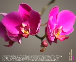 Orchids. Singapore. Toa Payoh Vets