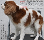 Cavalier King Charles 5 years, male, neutered. Paraphimosis, balanoposthtitis. Toa Payoh Vets
