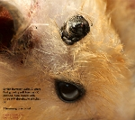 Syrian Hamster, Male, 2 years. Large grey tumour possibly haemangiosarcoma. Toa Payoh Vets