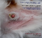 Cavalier King Charles, Male, Neutered, 5 years. Paraphimosis. Balanoposthitits. Singapore. Toa Payoh Vets