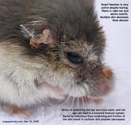 Singapore hamsters: 12  Corynebacterium in a dwarf hamster?