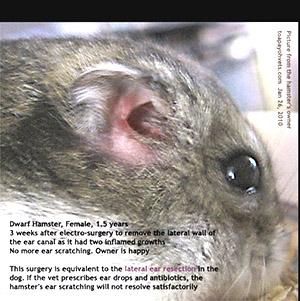 0829ASingapore veterinary hamster chest abscess education