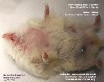 Roboroskvi dwarf hamster, 9 months, male. Testicular strangulation. Surgery. Toa Payoh Vets