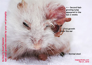 Dwarf hamster, encapsulated abscess, large, above ear. Singapore, Toa Payoh Vets