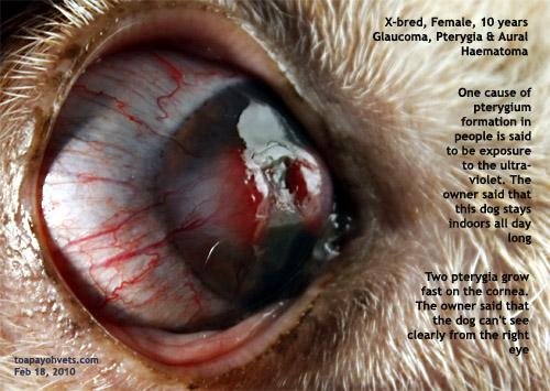 Dog Glaucoma Eye Surgery