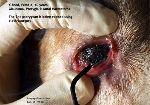 http://www.kongyuensing.com/pic/20100242tn_Pterygia_Pterygium_Glaucoma_Aural_Haematoma_Dog_10years_ToaPayohVets.jpg
