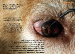 pterygium, pterygia, glaucoma, aural haematoma, old dog. Toa Payoh Vets