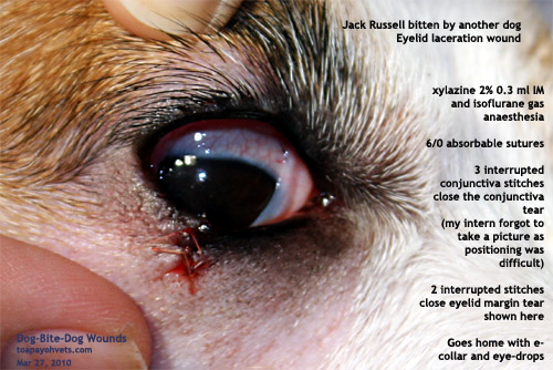 Dog Injury Bloodshot Eye