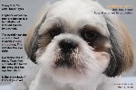 singapore young shih tzu, epiphora, median entropion surgery advised. toa payoh vets