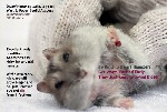 Dwarf hamster wart, leg, abscesses upper eyelid, toapayohvets, singapore