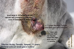 Old Siberian Husky, female, spayed, perianal, circum-anal gland tumour, singapore, toa payoh vets