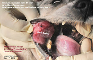 Old dog oral cheek tumour and rotten teeth bad breath dental scaling extraction toa payoh vets singapore