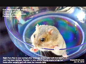 Big Hamsters Hamster Care Surgery Big