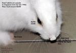 pet shop purchase dwarf rabbit scabies, singapore, toapayohvets
