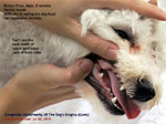 bichon frise 6 months congenital abnormalities of dog's gums gingiva  toa payoh vets singapore