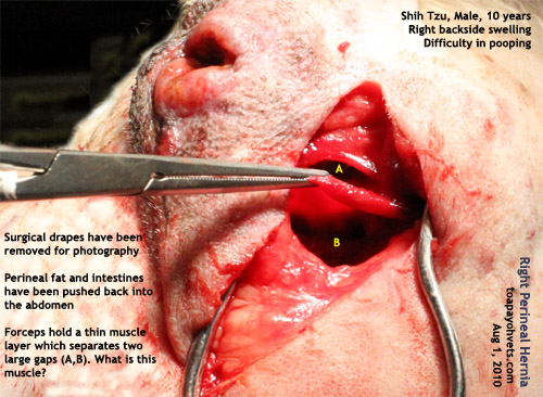 ... backside swelling perineal hernia repair toa payoh vets singapore