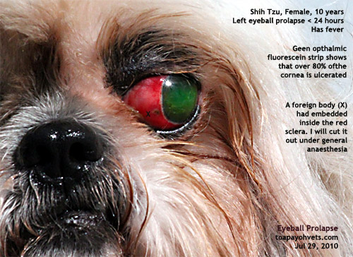 Dog Eye With White Sclera