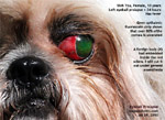 shih tzu eye ulcer injuries, eyeball pops out, prolapses, luxated, corneal ulcers, tarsorraphy, toapayohvets singapore