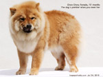 chow chow dog singapore spayed toa payoh vets 10 months no bleeding