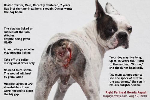 Canine+Perineum Dog Perineal Hernia