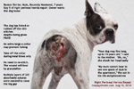 boston terrier, male, perineal hernias left and right repaired, toa payoh vets, singapore