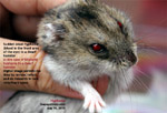 dwarf hamster, blood in front of the eyes - hyphema. toapayohvets, singapore