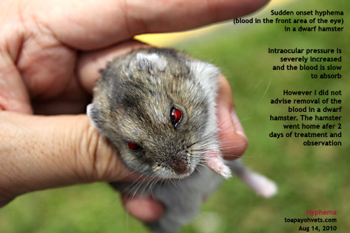 white dwarf hamster with red eyes - photo #12