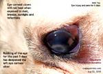 shih tzu, deep corneal ulcer, ulcerative keratitis, tarsorrhaphy, toapayohvets singapore