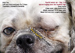shih tzu eye injuries ulceration cornea common, toapayohvets, singapore, tarsorrhaphy, 3rd eyelid flap