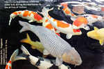 cha-goi is greyish koi, more tame than other koi species, singapore, toa payoh vets