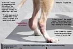 capped hock canine or synovial nerve tumour? sheltland old dog toapayohvets singapore