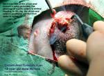 18-year-old not-neutered maltese, malignant seminoma, testicular tumour, circumanal tumour, toapayohvets, singapore