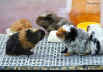 guinea pigs for sale pet shop toa payoh vets singapore