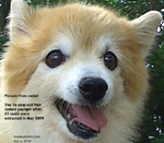 16-year-old Pomeranian after dental work looks much younger and active. Toa Payoh Vets, Singapore