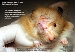 syrian eye injured prolapsed luxated fight with other hamster enucleation toa payoh vets singapore