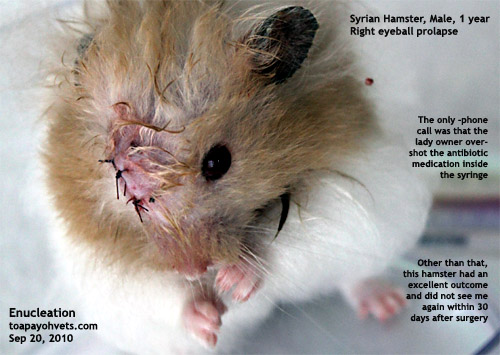 Hamsters With Big Eyes Eye in a Syrian Hamster at