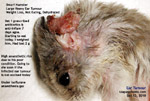 Be kind to dwarf hamsters. Get your vet to excise the ear tumours when they are small. Toa Payoh Vets, Singapore