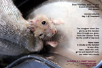 dwarf hamster, dandruff, scales, skin ulcers, infections, cellulitis, toapayohvets, singapore