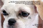 histopathology - inflamed eyelid granulomas shih tzu puppy 3 months, toapayohvets