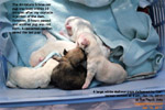oxytocin injection delivered the miniature schnauzer pup but another pup needed caesarean section delivery. toapayohvets
