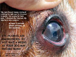 Eye corneal ulcers can lead to eyeball rupture and loss of eye-sight. Toa Payoh Vets