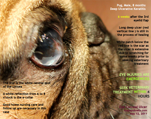 how to treat corneal ulcers in dogs